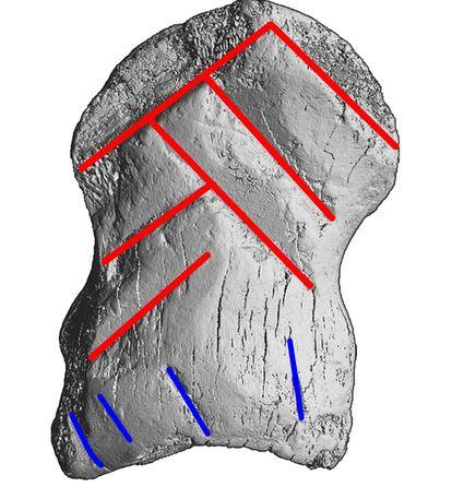 Representación de la falange con los trazos en forma de galón destacados en rojo y las muescas abajo en azul.