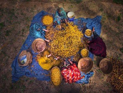 Un grupo de mujeres trabaja en el oasis de Siwa, un depósito de variedades distintivas de palmeras datileras y otros cultivos.