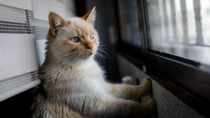 Un gato mira por la ventana desde el interior de una vivienda en Madrid, el pasado abril.