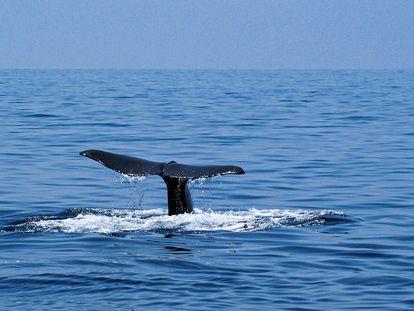 Un cachalote en aguas del Cabo de Creus.