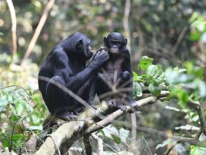 Las madres interfieren en el apareamiento de otros machos y protegen la cópula de los suyos