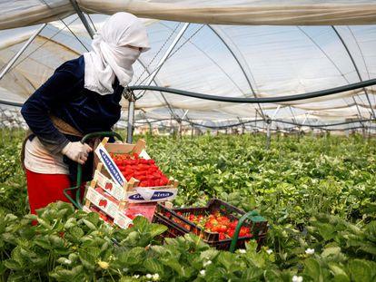 Una mujer recoge fresas en una explotación agrícola de Cartaya (Huelva).