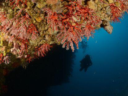 Coral rojo en la costa catalana.