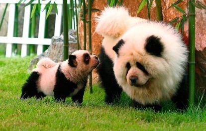 No es lo que parece. Dos perros chow chow, que se asemejan a dos osos panda, en Zhengzhou (China).
