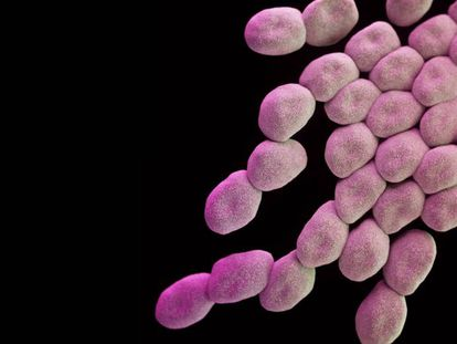 Bacterias de la especie 'Acinetobacter baumannii', la más peligrosa según la OMS.