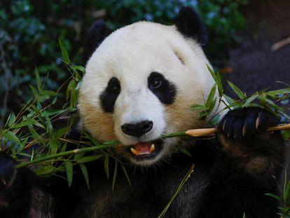 El panda Xiao Liwu come bambú en un centro de investigación de San Diego (EE UU)