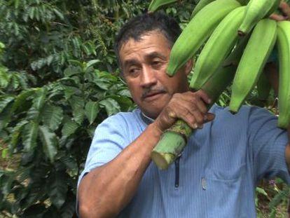 Ricardo Díaz corta plátanos en su finca de Quindío en Colombia.