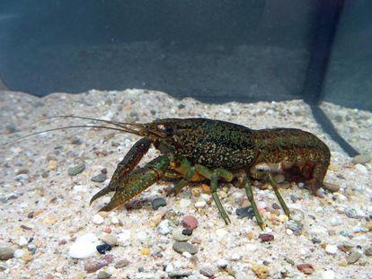 Ejemplar de cangrejo de río jaspeado capturado en Bélgica.