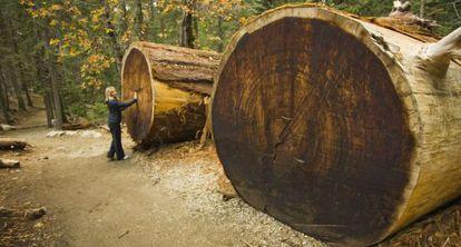 Una turista frente a los troncos caídos de dos secuoyas gigantes en California