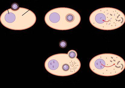 1) El virus de la gripe se une a una célula epitelial diana.  2) La célula engulle el virus mediante endocitosis.  3) Se libera el contenido del virus. El ARN vírico se introduce en el núcleo, donde la polimerasa de ARN lo replica.  4) El ARN mensajero (ARNm) del virus sirve para fabricar proteínas víricas.  5) Se fabrican nuevas partículas víricas y se liberan al líquido extracelular. La célula, que no muere en el proceso, sigue fabricando nuevos virus.