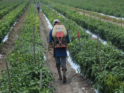 Un agricultor rocía con pesticidas una cosecha en Tanhuato, Michoacán, en agosto de 2017.
