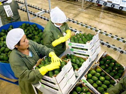 Mujeres peruanas cargan cajas de palta (aguacate) para su exportación.