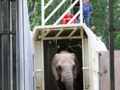 Bully a su llegada al zoo de Barcelona.