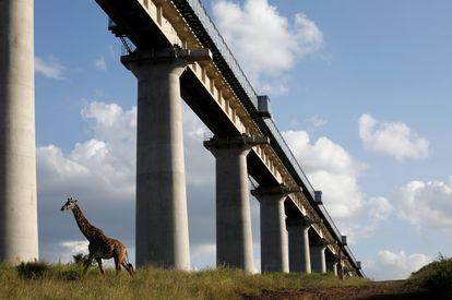 Una jirafa cruza por debajo del puente de la línea Standard Gauge Railway (SGR) a su paso por el Parque Nacional de Nairobi, Kenia.
