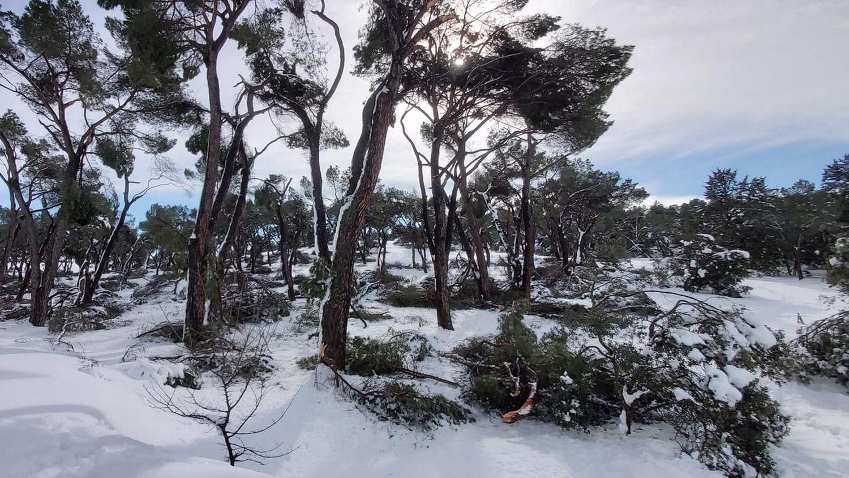 Filomena' devasta la Casa de Campo y los expertos temen una catástrofe  arbórea en Madrid | Madrid | EL PAÍS