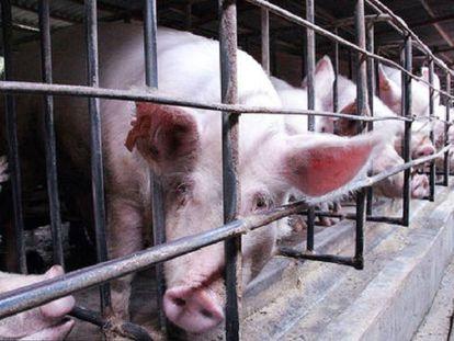En granjas de cerdos en China se ha encontrado gran cantidad de bacterias resistentes a los antibióticos
