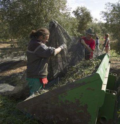 Unos jornaleros de Marinaleda en la recolección de la aceituna, esta semana.