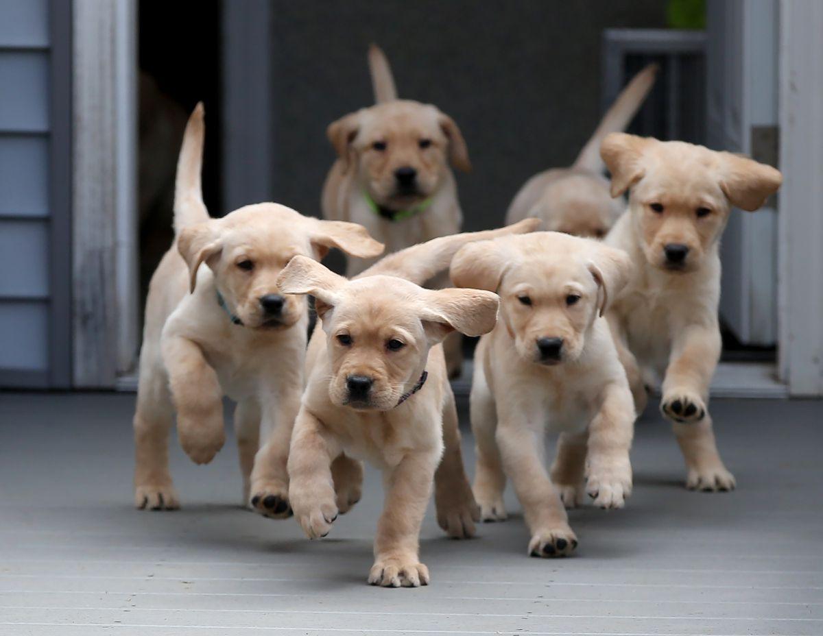 Los cachorros de perro nacen con la capacidad genética de entender a los humanos