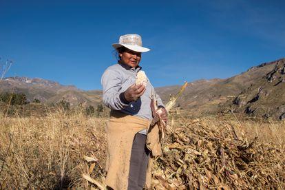 Un campo de maíz en Coporaque, Perú.