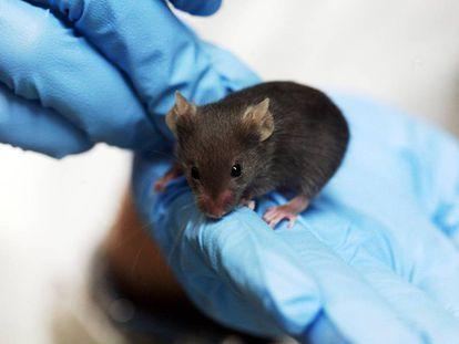 Los científicos utilizaron ratones para estudiar el tratamiento de la sordera humana.