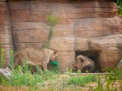 Una leona junto al león macho en el Zoo de Barcelona.