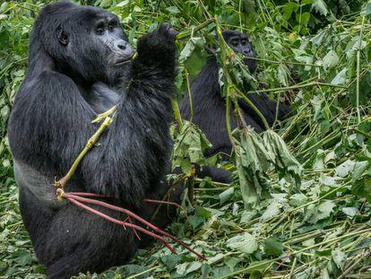 Gorila de montaña en Uganda.