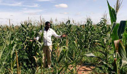 Israel Pasipanodya Mushore, de 60 años, levanta sus manos con pesar al observar su campo de maíz, donde esta temporada no ha logrado una buena cosecha debido a la escasez de lluvias, en Nyabira, cerca de Harare, marzo de 2020. A este hombre se le asignó la granja y una parcela durante el programa de reforma agraria de Zimbabue.