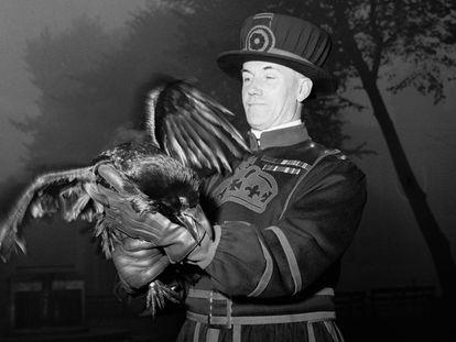 Un guardián de la Torre de Londres, en 1955 con uno de los cuervos que supuestamente protegen la Corona y que viven en el castillo desde que lo ordenara Carlos II.