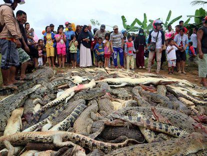 Residentes de Indonesia junto a los casi 300 cocodrilos masacrados.