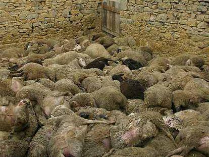 Ovejas muertas tras uno de los ataques de la jauría de perros en Villahermosa del Río.