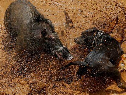 Perros luchan contra jabalíes salvajes en espectáculos de Indonesia