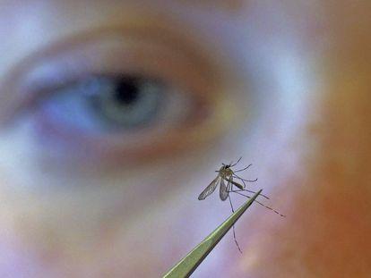 La bióloga Nadja Reissen examina un mosquito en Salt Lake City (Utah, Estados Unidos).
