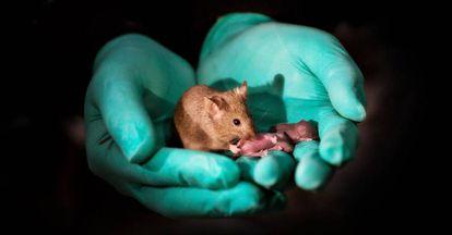 Crías nacidas de dos ratones hembra.