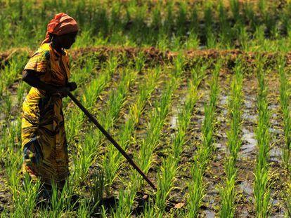 Una mujer en una proyecto de cultivo de arroz adaptado al cambio climático en Kirkoka (Tanzania).