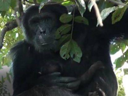 El chimpancé 'Sylvester' mima y acuna a la pequeña 'Maria', de 20 días.