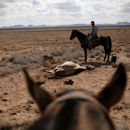 A farmer observes a cow carcass on the Santa Barbara ranch in a drought-stricken area near Camargo, in Chihuahua state, Mexico September 9, 2020. Picture taken September 9, 2020. REUTERS/Jose Luis Gonzalez