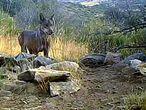 Imagen del lobo en el Parque Nacional de Guadarrama.