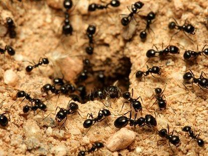 Un grupo de hormigas en la entrada de un hormiguero.