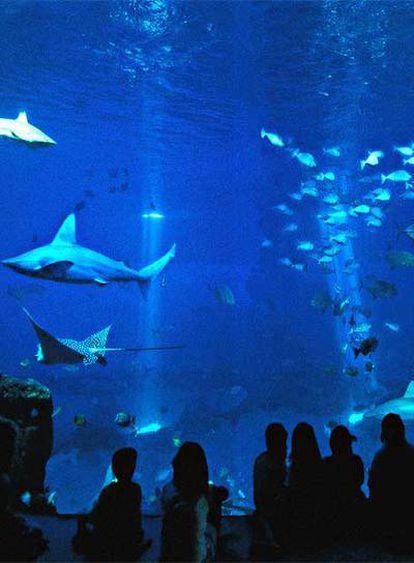 Tiburones en el Gran Azul, la mayor piscina del acuario de Palma de Mallorca, que se abrió el viernes 8 de junio.