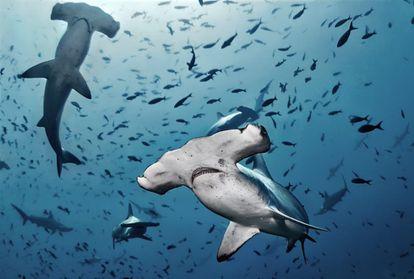 Varios ejemplares de tiburón martillo en medio de otras especies. La biodiversidad de la Dorsal de Nasca.
