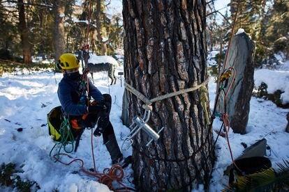 Un operario trabaja con uno de los árboles del Real Jardín Botánico que han sufrido desperfectos tras la gran nevada.