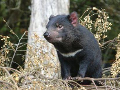 Un estudio detecta animales blindados a los letales tumores contagiosos que exterminan a la especie