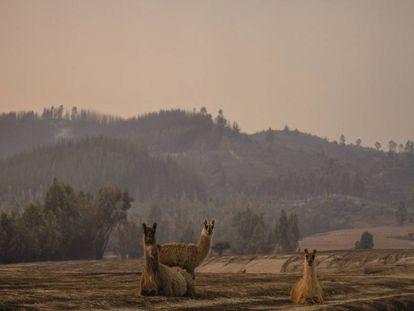 Animales vagan en terrenos calcinados tras un incendio forestal.