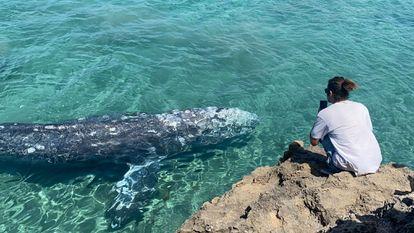 La ballena, bautizada como 'Wally', en aguas de Mallorca.