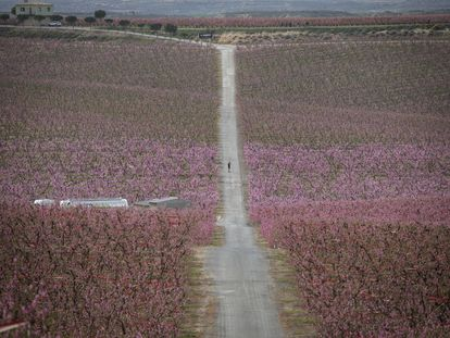 Campos de melocotones florecidos en Aitona ( Lleida ).