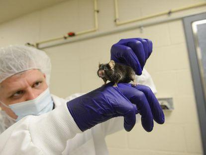 Un investigador sostiene un ratón de laboratorio.