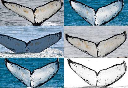 Todas estas imágenes se corresponden con avistamientos del mismo cetáceo: Colmillo Blanco