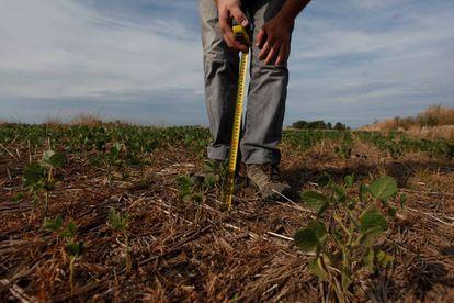 Un productor mide el tamaño de una planta de soja en Chivilcoy, a 170 kilómetros de Buenos Aires.