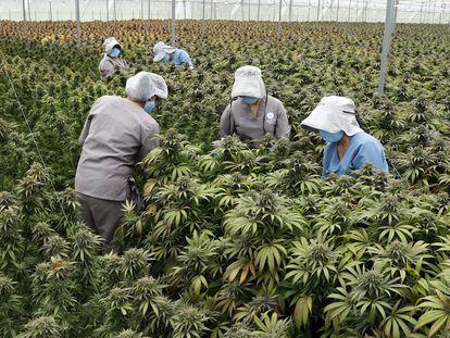 Trabajadoras cuidan plantas de cannabis en el vivero de la empresa Clever Leaves en Pesca, Boyacá (Colombia), el pasado 1 de julio.