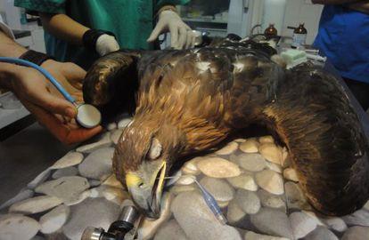 Águila real en una intervención por una colisión con un tendido eléctrico.